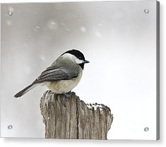Acrylic Print featuring the photograph Black-capped Chickadee by Jack R Brock