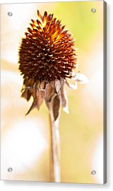 Black-eyed Susan After The Winter Acrylic Print