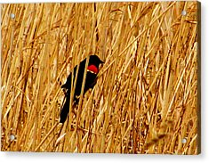 Blackbird In The Reeds Acrylic Print