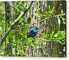 Blue Bird Of Happiness  Acrylic Print by Debra     Vatalaro