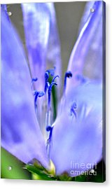 Blue Weed Acrylic Print by Lila Fisher-Wenzel
