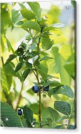 Blueberries (vaccinium Sp.) Acrylic Print by Veronique Leplat