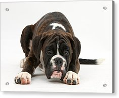 Boxer Pup Acrylic Print by Mark Taylor