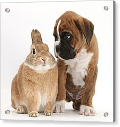 Boxer Puppy And Netherland-cross Rabbit Acrylic Print by Mark Taylor