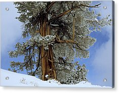 Bristlecone Pine Tree Blanketed In Snow Acrylic Print by Tim Laman