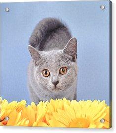 British Shorthair Kitten Acrylic Print by Waldek Dabrowski