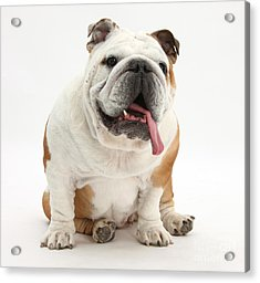 Bulldog Acrylic Print by Mark Taylor