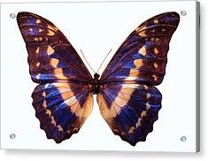 Butterfly Acrylic Print by John Foxx