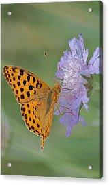 Butterfly On Right Position Acrylic Print by Meeli Sonn