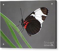 Acrylic Print featuring the photograph Butterfly  by Tam Ryan