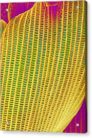 Butterfly Wing Scale,sem Acrylic Print by Susumu Nishinaga
