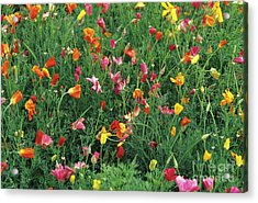 California Poppies Acrylic Print by Duncan Smith