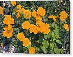 Californian Poppy (eschscholzia Sp.) Acrylic Print by Dr Keith Wheeler