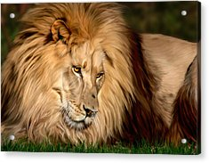 Cameron Acrylic Print by Big Cat Rescue