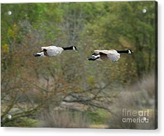 Acrylic Print featuring the photograph Canada Geese by Doug Herr