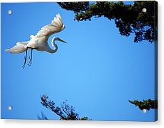 Acrylic Print featuring the photograph Carmel Egret by Harvey Barrison