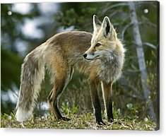 Cascade Red Fox Acrylic Print by Bob Gibbons