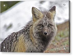 Cascade Red Fox Acrylic Print