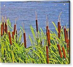 Cattail Salute Acrylic Print