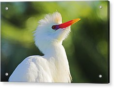 Acrylic Print featuring the photograph Cattle Egret-2-st Lucia by Chester Williams