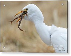 Cattle Egret With Dinner Acrylic Print