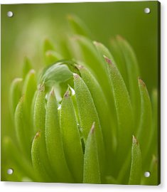 Caught Acrylic Print by Carrie Cranwill