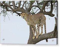 Cheetah Acinonyx Jubatus Female Acrylic Print by Suzi Eszterhas