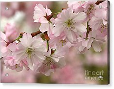 Cherry Blossoms Acrylic Print by Frank Townsley