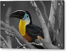 Chestnut Mandibled Toucan  Acrylic Print