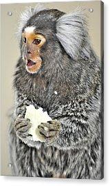 Chewy The Marmoset Acrylic Print by Barry R Jones Jr