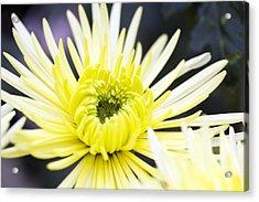Chrysanthemum 'sheena' Acrylic Print by Jon Stokes
