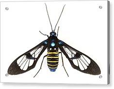 Clearwinged Tiger Moth Tapanti Np Costa Acrylic Print by Piotr Naskrecki
