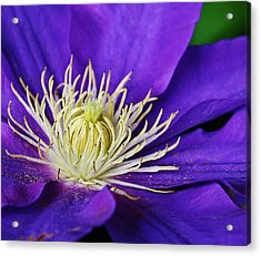 Clematis Close Up Acrylic Print by Bruce Bley