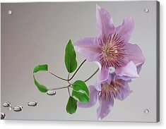 Acrylic Print featuring the photograph Clematis 'filigree' by Shirley Mitchell