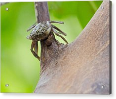 Climbing Crab Acrylic Print by Mike Rivera