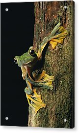 Close View Of A Wallaces Flying Frog Acrylic Print by Tim Laman