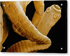 Coloured Sem Of A Tapeworm, Taenia Sp. Acrylic Print by Power And Syred