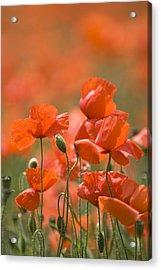Common Poppies (papaver Rhoeas) Acrylic Print