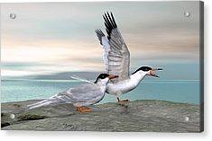 Common Tern Acrylic Print by Walter Colvin