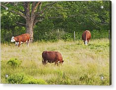 Cows Grazing In Field Rockport Maine Acrylic Print by Keith Webber Jr