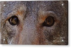 Coyote Eyes Acrylic Print by DiDi Higginbotham
