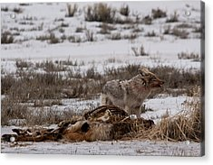 Coyote National Elk Refuge Acrylic Print