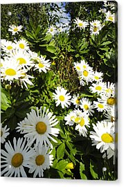 Crowd Of Daisies Acrylic Print by Guy Ricketts