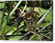 Cry Of The American Robin. Acrylic Print