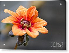 Dahlia In The Mist Acrylic Print by Sean Griffin