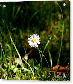 Daisy Daisy Acrylic Print by Isabella F Abbie Shores