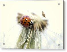 Dandelion Ladybugs Acrylic Print