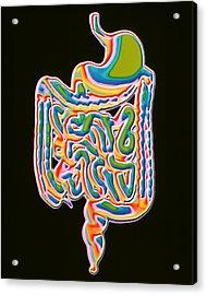 Digestive System Acrylic Print by Pasieka