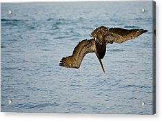 Diving Pelican Acrylic Print by Mike Rivera