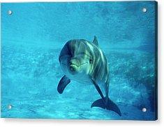 Dolphin In Captivity Acrylic Print by Alexis Rosenfeld